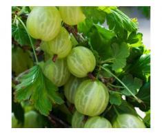 Arbusti fructiferi: Aronia, Agris, Goji