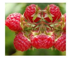 Arbusti fructiferi: Zmeur, Coacaz, Afin, Mur - Poza 1/3