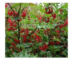 Arbusti fructiferi: Zmeur, Coacaz, Afin, Mur - Poza 2/3