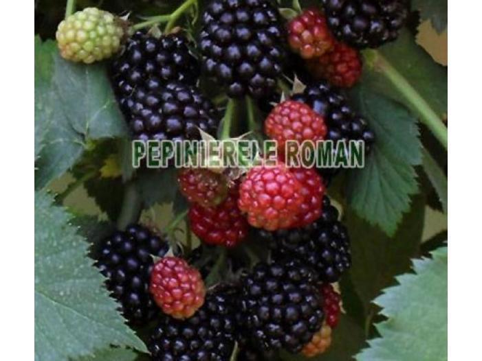 Arbusti fructiferi: Zmeur, Coacaz, Afin, Mur - 3/3