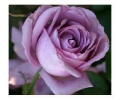 Trandafiri altoiti