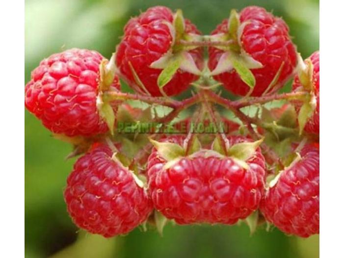 Arbusti fructiferi: Zmeur, Coacaz, Afin, Mur - 1/3