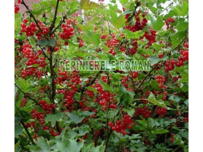 Arbusti fructiferi: Zmeur, Coacaz, Afin, Mur - 2/3