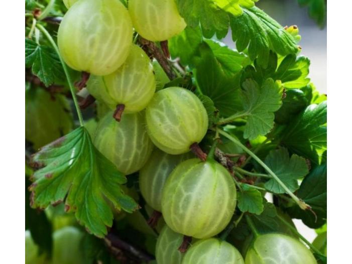 Arbusti fructiferi: Aronia, Agris, Goji - 2/3