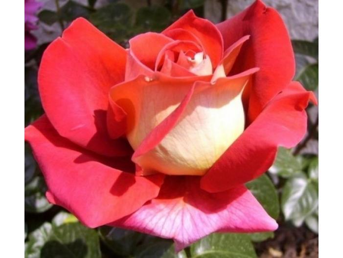 Trandafiri altoiti - 2/3