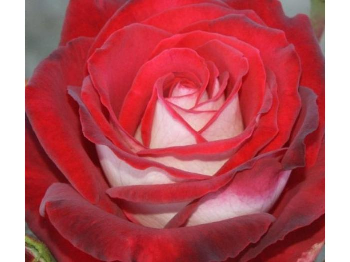 Trandafiri altoiti - 3/3