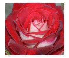 Trandafiri altoiti - Poza 3/3