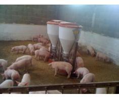 Angajez personal ferma de porci Germania