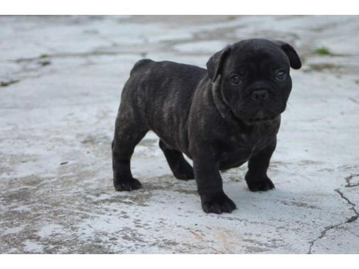 Bulldog Francez cu pedigree - 3/3