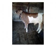 Vaca și vițel de 3 luni