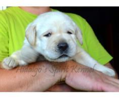 Labrador retriever puppies cu acte de origine