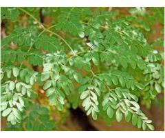 Vindem plante de moringa oleifera