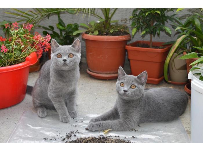 Pisici British Shorthair, Blue - 1/5