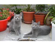 Pisici British Shorthair, Blue - Poza 1/5