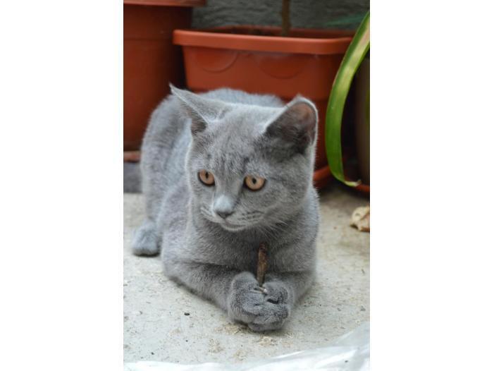 Pisici British Shorthair, Blue - 2/5
