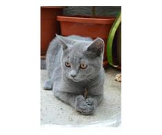 Pisici British Shorthair, Blue