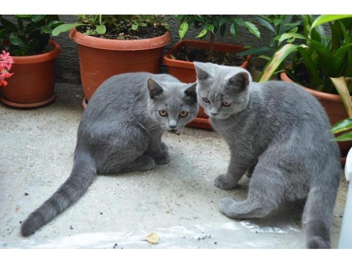 Pisici British Shorthair, Blue - 3/5