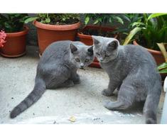 Pisici British Shorthair, Blue - Poza 3/5
