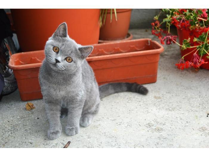 Pisici British Shorthair, Blue - 4/5