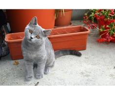 Pisici British Shorthair, Blue - Poza 4/5