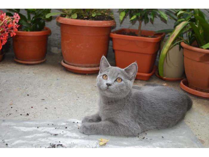 Pisici British Shorthair, Blue - 5/5