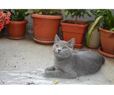 Pisici British Shorthair, Blue - Poza 5/5