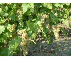 Struguri de vin feteasca regala, riesling, aligote vrancea