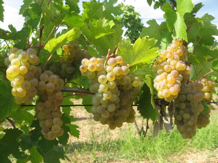 Vand struguri de vin Tamboesti, Vrancea 2017. - 1/5