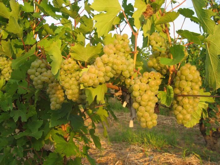 Vand struguri de vin Tamboesti, Vrancea 2017. - 2/5