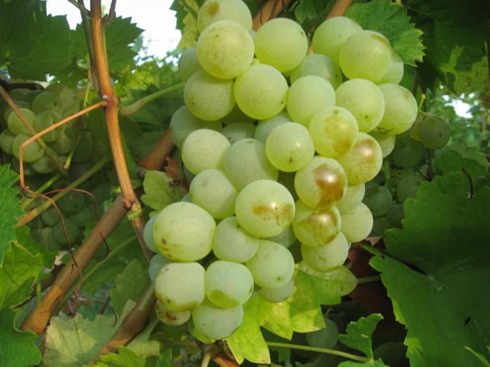 Vand struguri de vin Tamboesti, Vrancea 2017. - 5/5