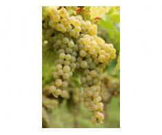 Vand struguri de vin: cramposie