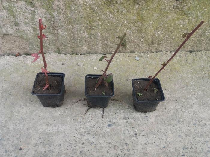 Vand butasi de mure fara spini, plantati in pahare de plastic - 1/4