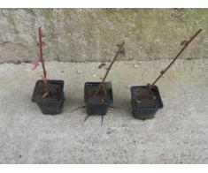 Vand butasi de mure fara spini, plantati in pahare de plastic
