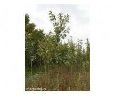 plante ornamentale, mesteacan, tei, arbori si arbusti
