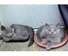 Pisoi British Shorthair, Blue