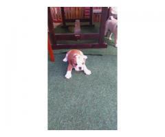 Vând pui de bulldog