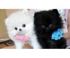 Două cățeluși Pomeranian T-Cup pentru Crăciun