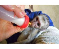 socializate au pregătit maimuțele capucin pentru adoptarea gratuită