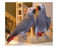 Dulci și minunați papagali gri pentru adopție