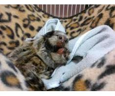 magnifica scimmie marmoset maschio și femmina per l'adozione