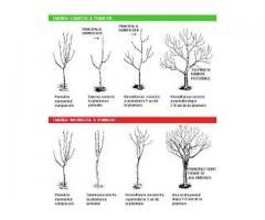 Tăieri de intreținere pomi și arbuști fructiferi