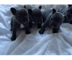 Adorabili puii bulldog francez