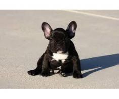 Puii fantastici ai Bulldogului Francez