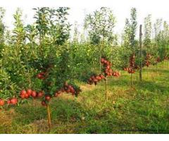 cedez SRL cu contract de arenda pentru 170 ha livada