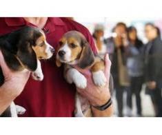 Puii de culoare Beagles colorate gata acum