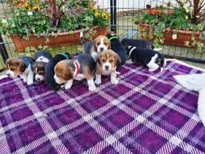 Puii de culoare Beagles colorate gata acum - 4/4