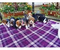 Puii de culoare Beagles colorate gata acum - Poza 4/4
