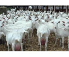 Vand oi si capre, rasa de lapte