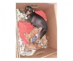 Pinscher pitic catei toy