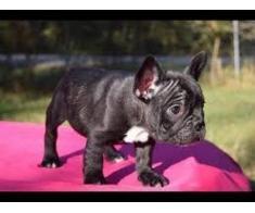 Bulldogii francezi sunt gata să plece Păpuși